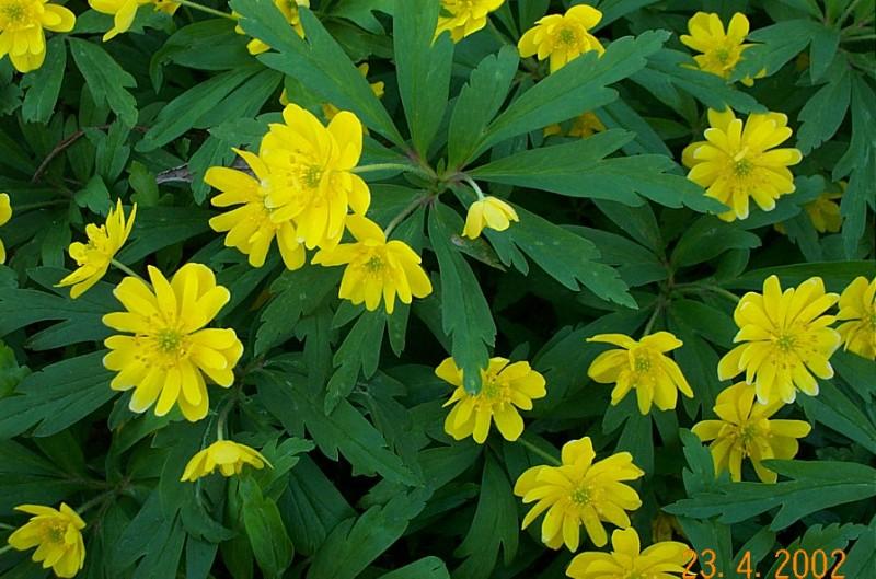anemone-ranunculoides-semiplena-dobb-a71