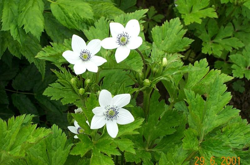 anemone-rivularis-a93