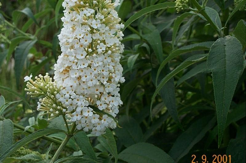 buddleia-davidei-white-bouguet-b10