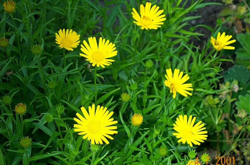 buphtalnum-salicifolium-dora-b08