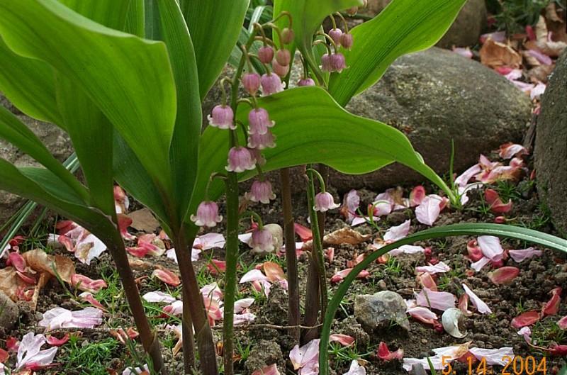 convallaria-majalis-rosea-c121