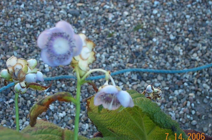 deinanthe-caerulea-d17