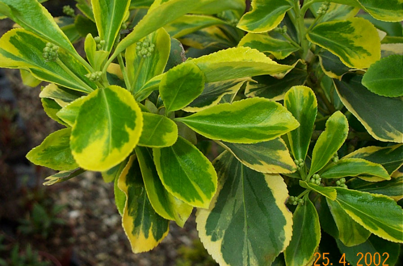 euonymus-fortunia-emerald-gold-e14
