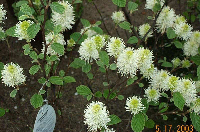 fothergilla-major-f16