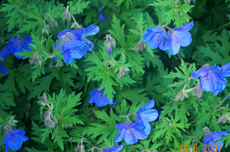 geranium-johnson-blue-g33