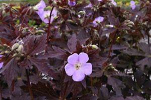 geranium-maculatum-elizabeth-ann-g55