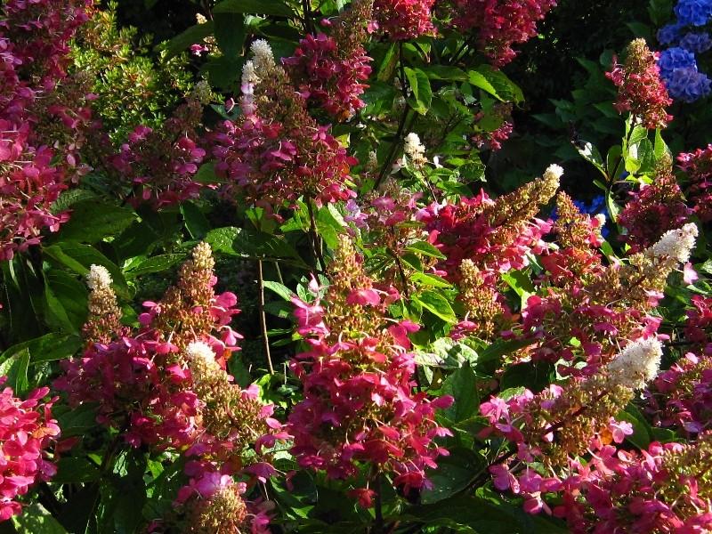 hydrangea-paniculata-wins-red-h267