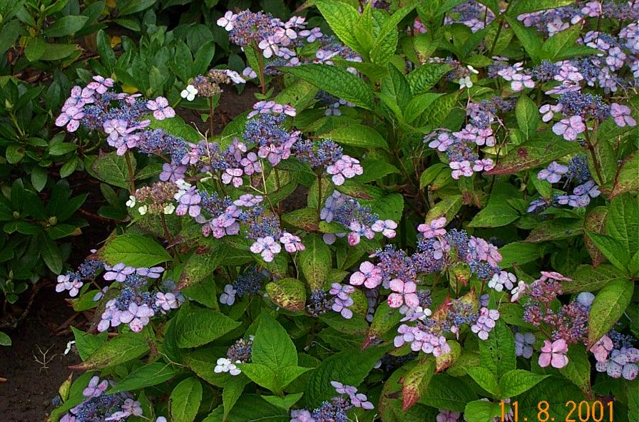 hydrangea-serrata-blue-bird-bla-h101