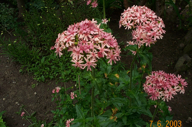 lychnis-chalcedonica-morgenrot-l65