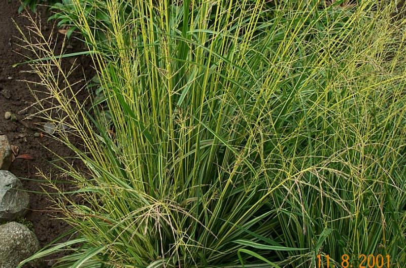 molinia-caerulea-variegata-m16