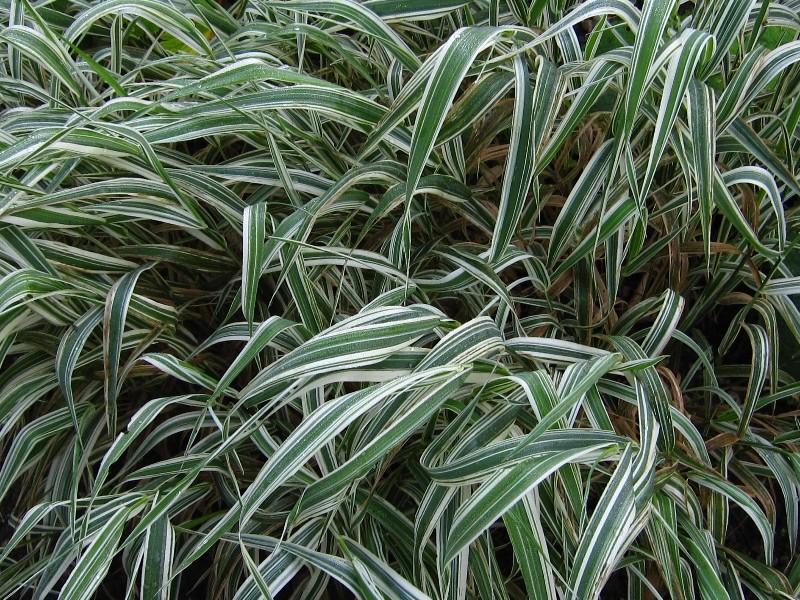 phalaris-arundinacea-picta-p32