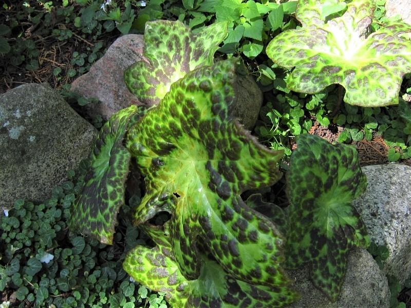 podophyllum-spotty-dotty-p54