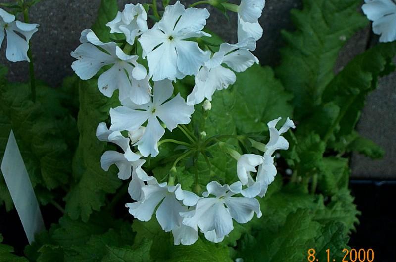 primula-sieboldii-of-the-white-p211