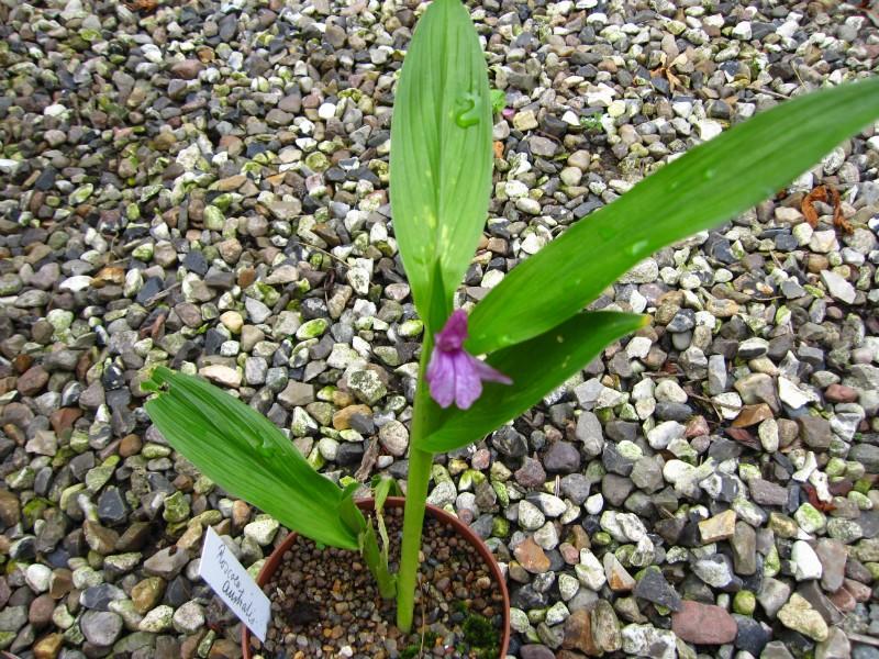 roscoea-australis-r129