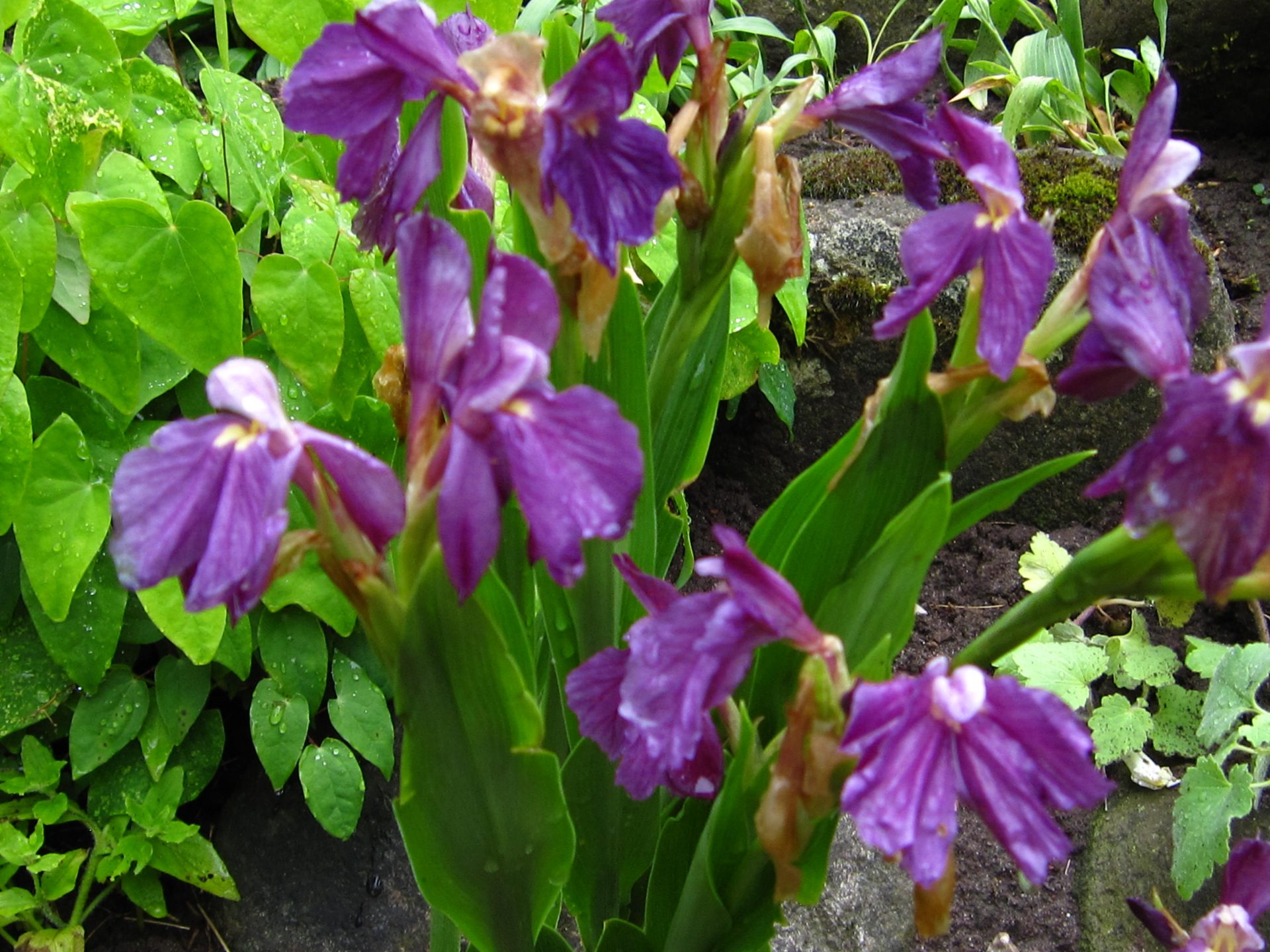 roscoea-cantleyoides-purple-giant-r20