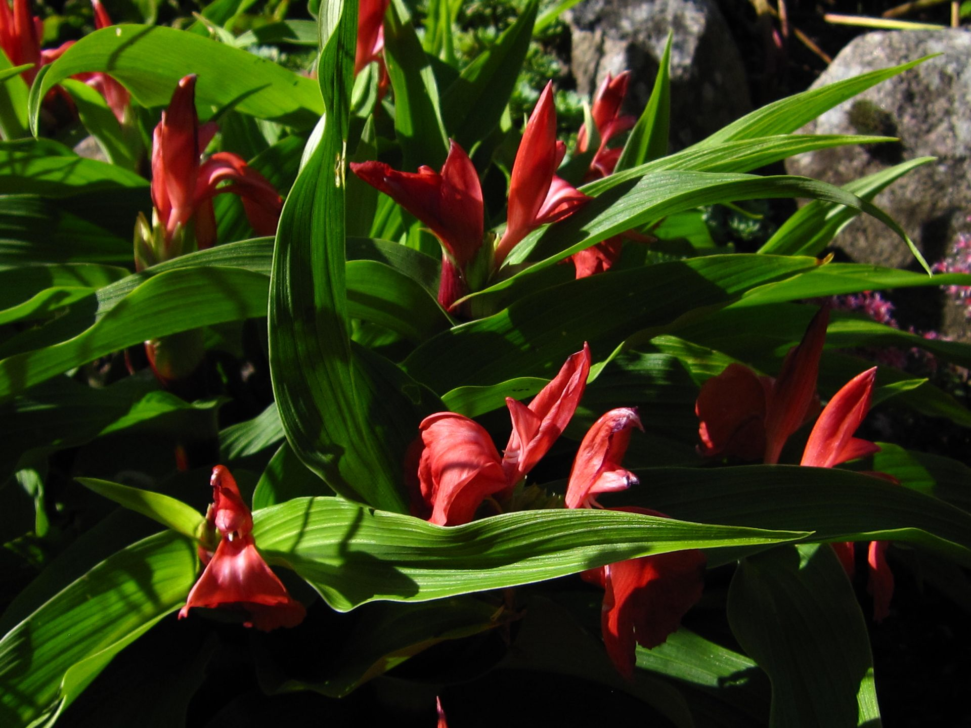 roscoea-purpurea-red-gurkha-r116-0