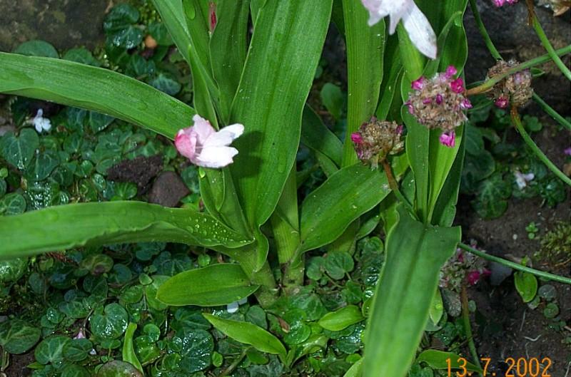 roscoea-scillifolia-r05
