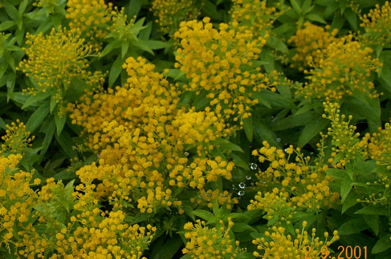 solidago-hyb-golden-thumb-s06