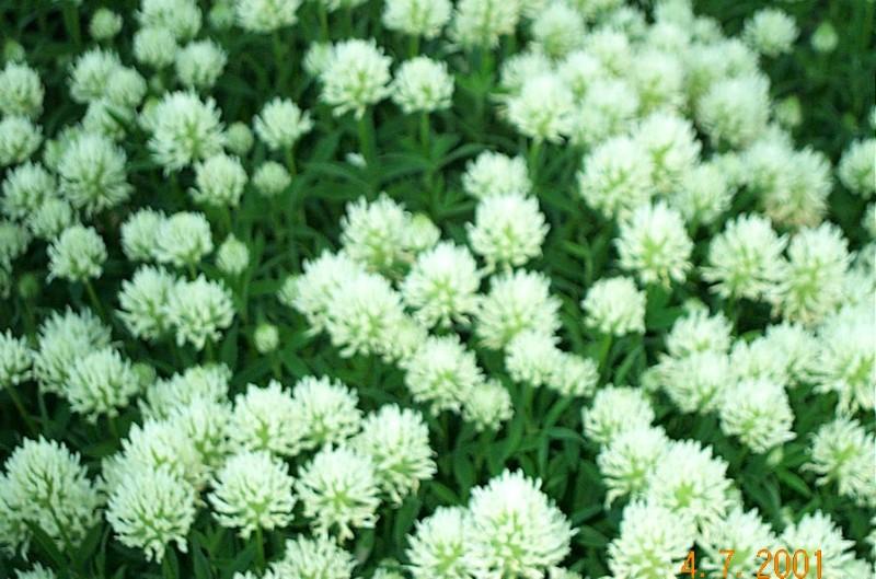 trifolium-pannonicumt14