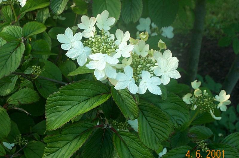 viburnum-plicatum-watanabe-v04