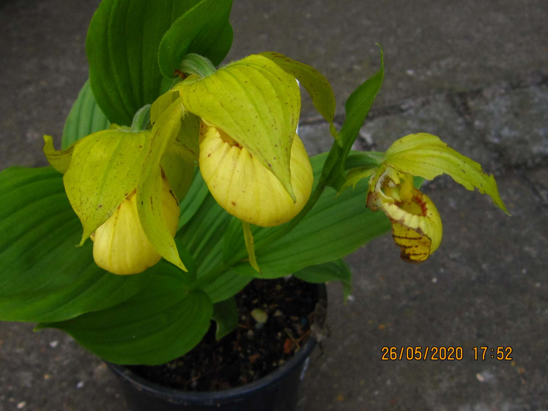cypripedium borry phillips C140
