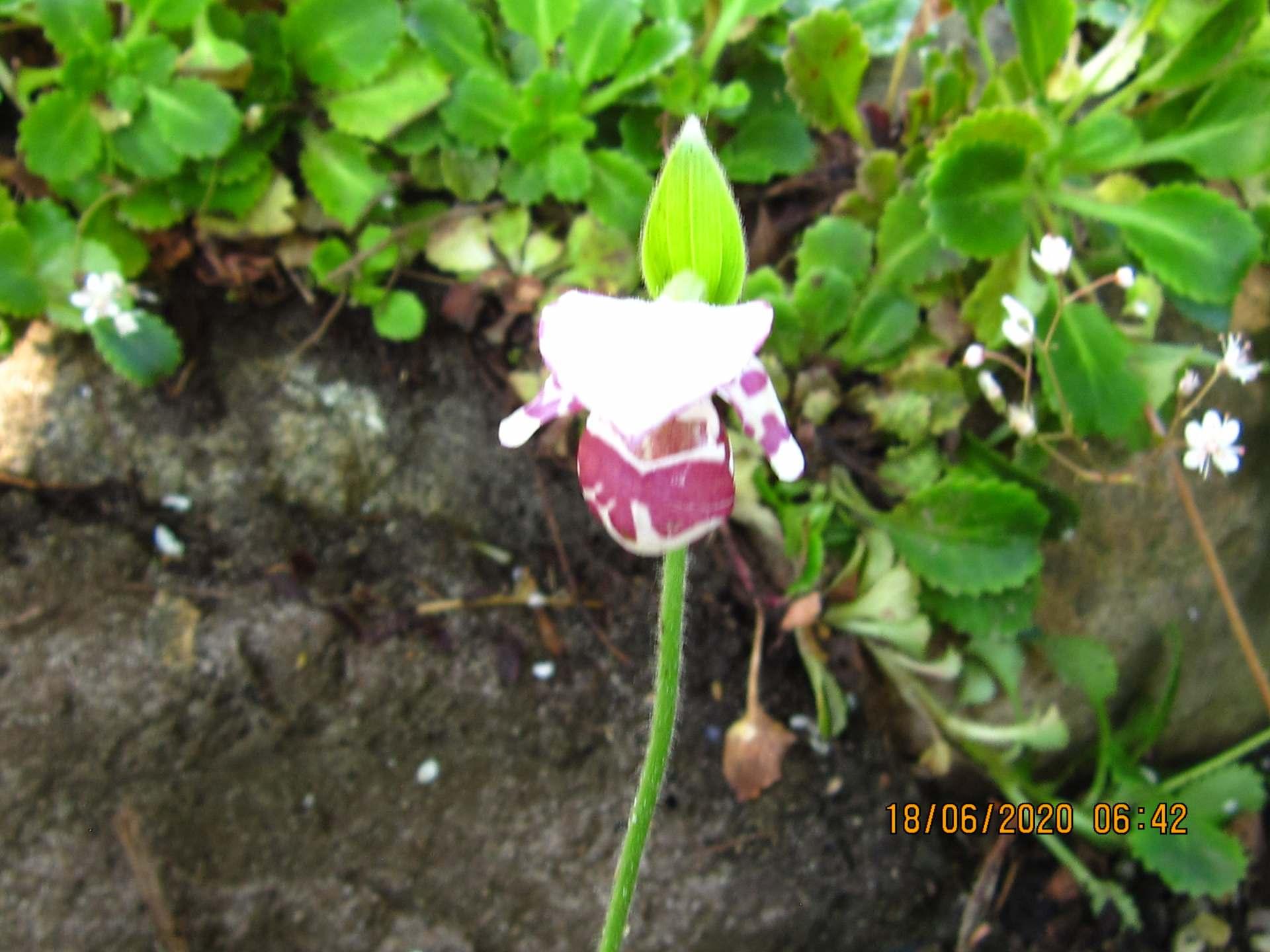 cypripedium guttatum C160