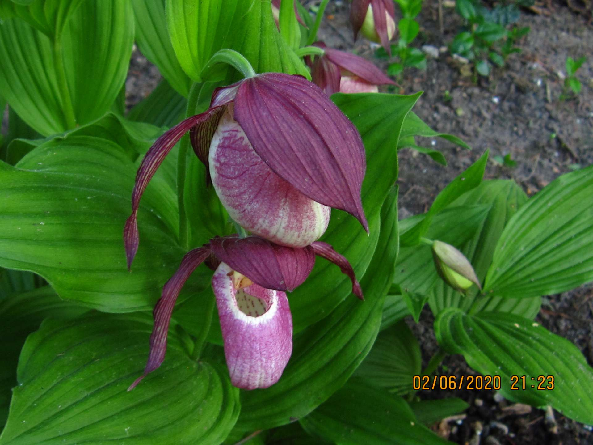 cypripedium kentuchy maxi C162