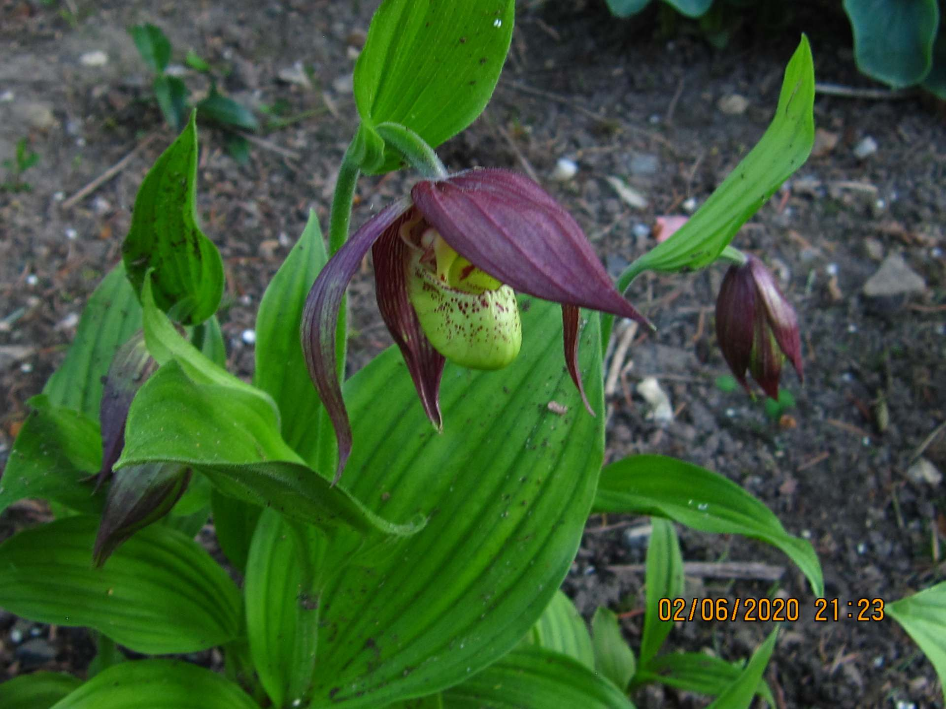 cypripedium kentuchy maxi C31