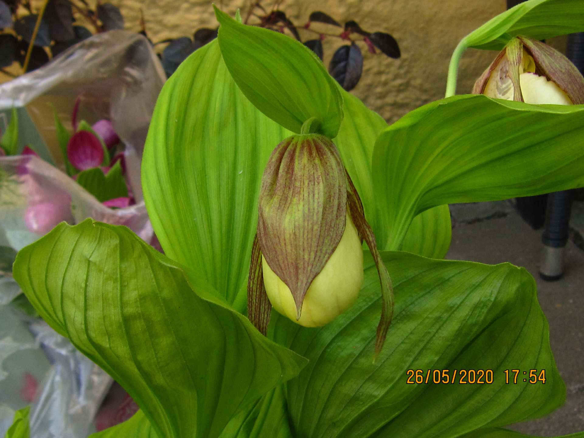 cypripedium kentucky maxi C153 2