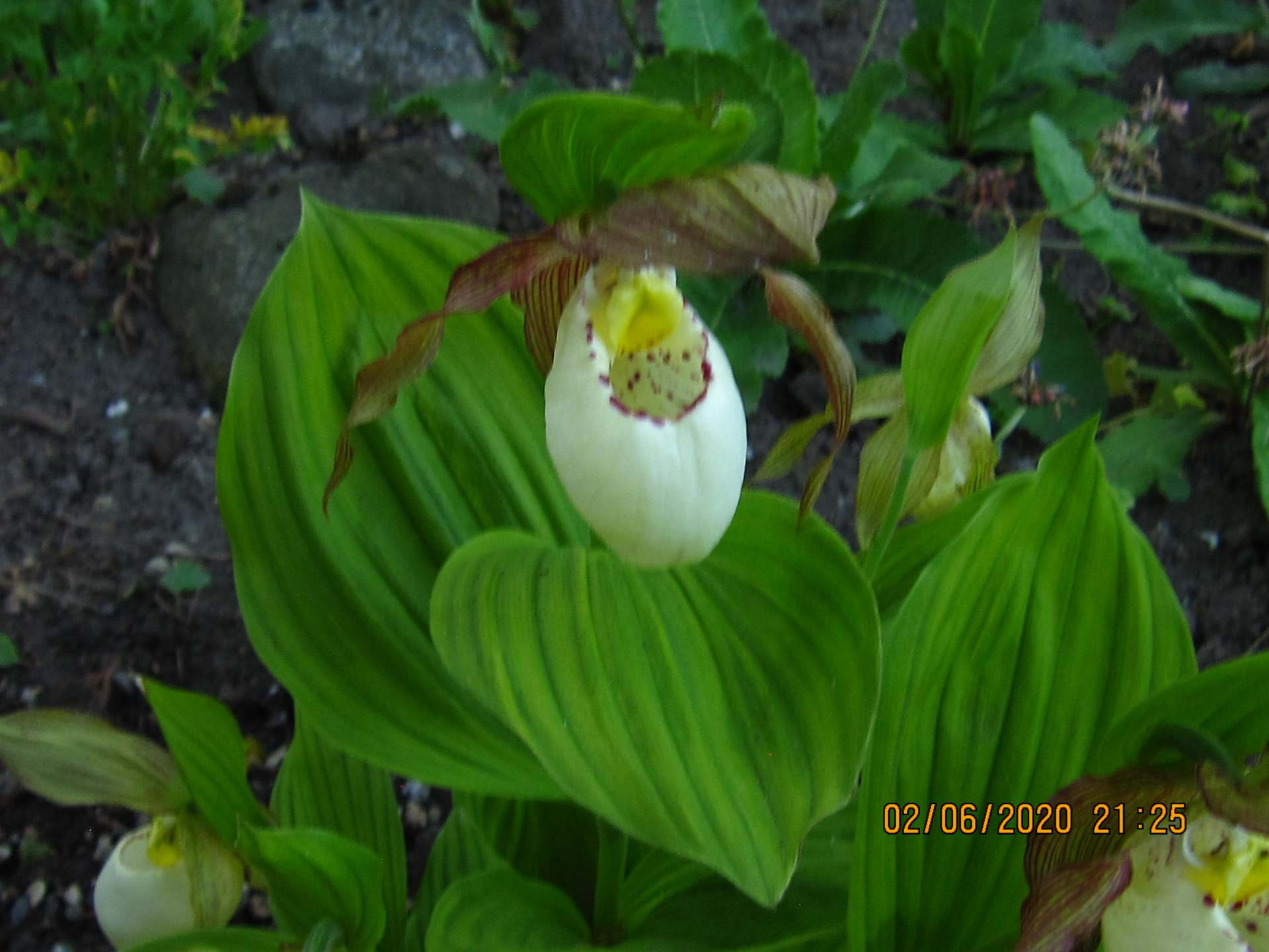 cypripedium kentucky maxi C153