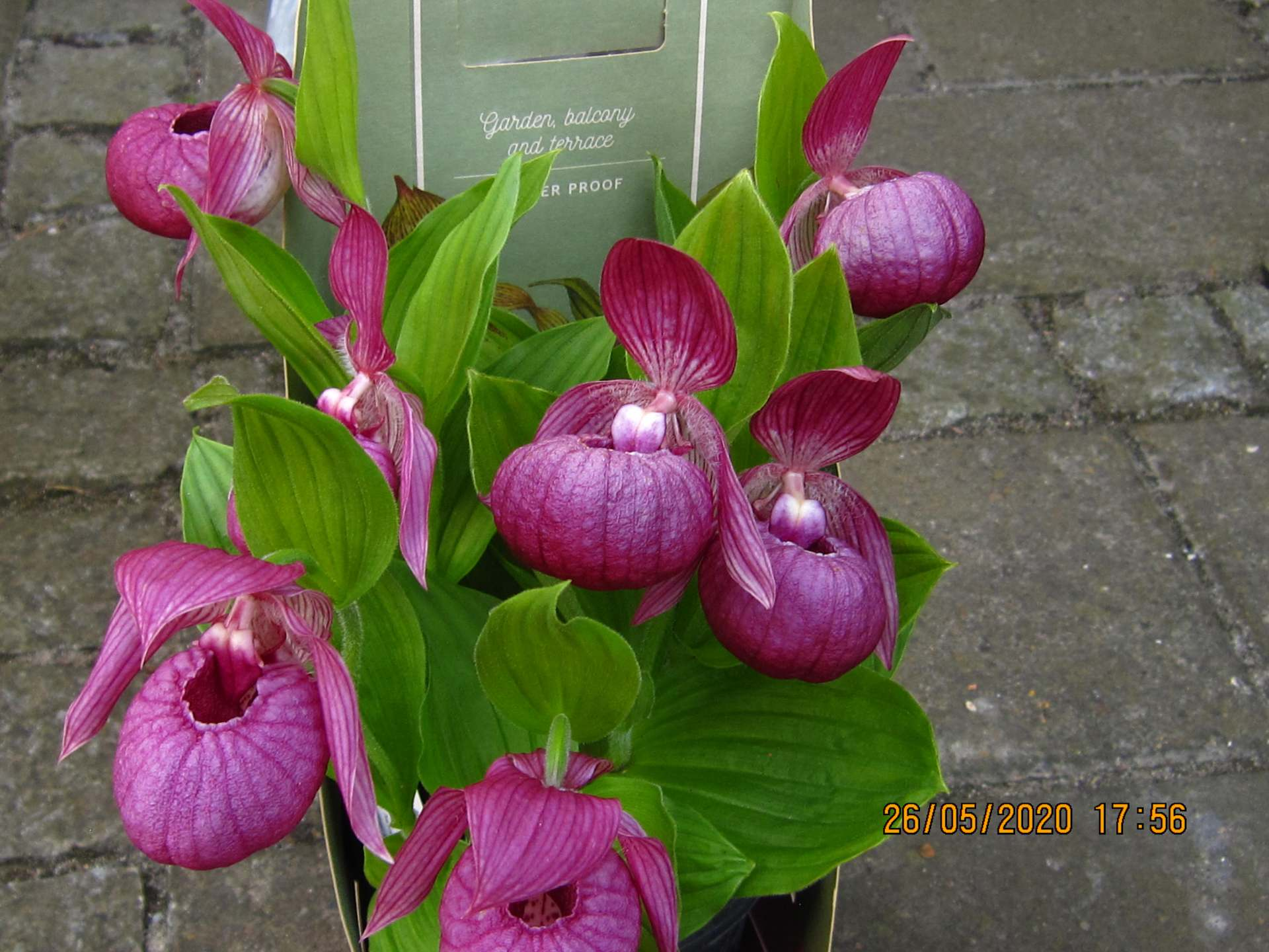 cypripedium kentucky pink C155
