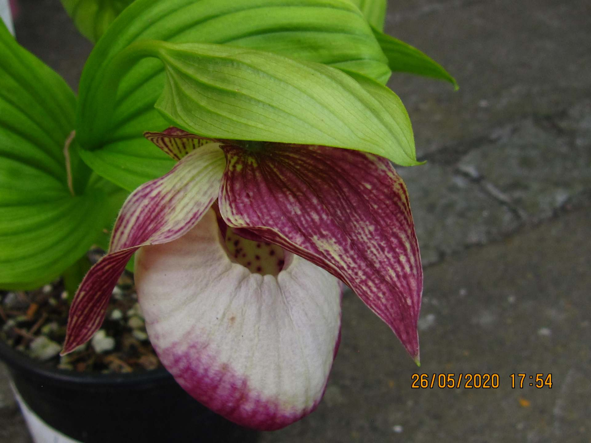 cypripedium sabine C150