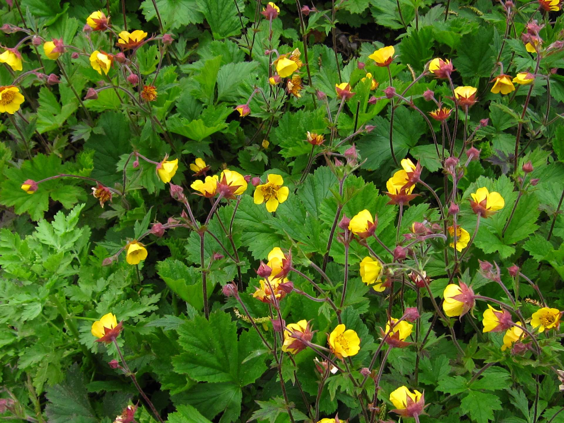 geum revale lemon drops G23
